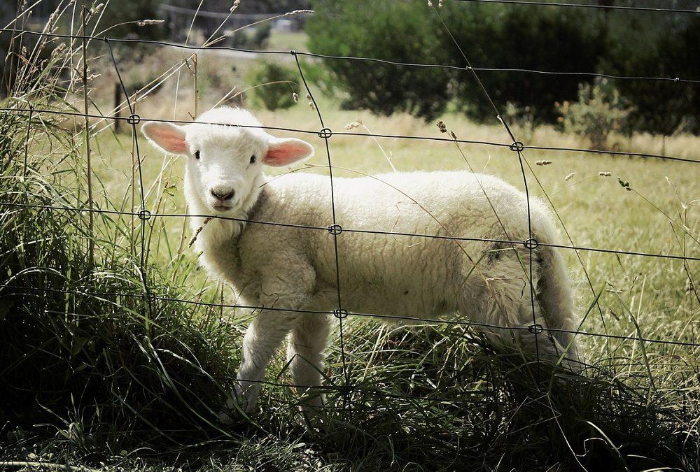 Helse hos nyfødte lam