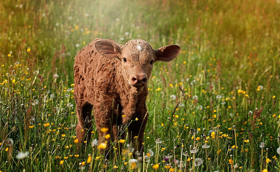 Ta vare på kalvene – helt fra starten