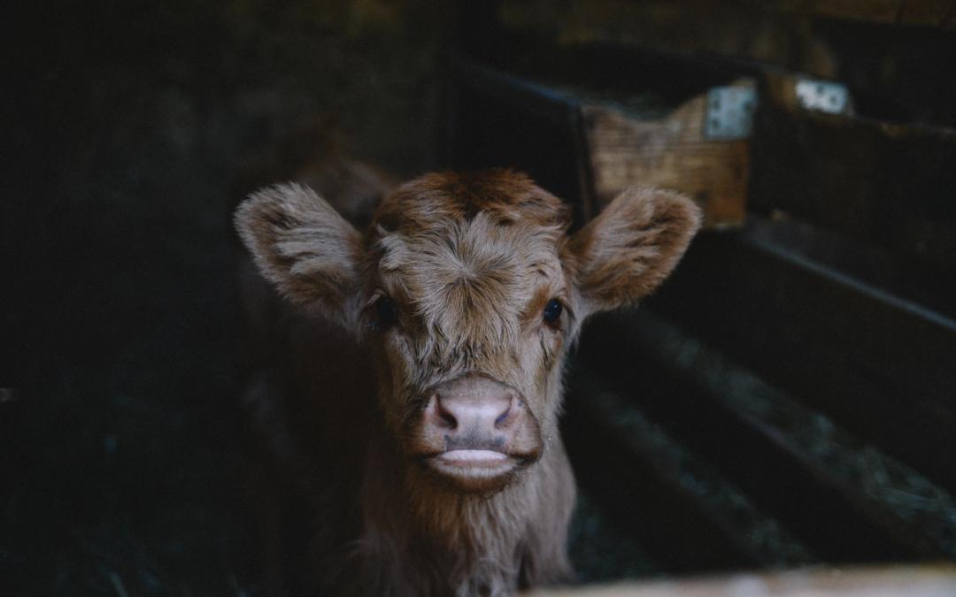Hvordan få en frisk og sprek kalv